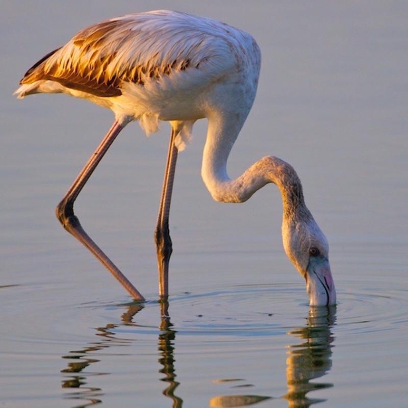 Spot Flamingos in the Lagoon